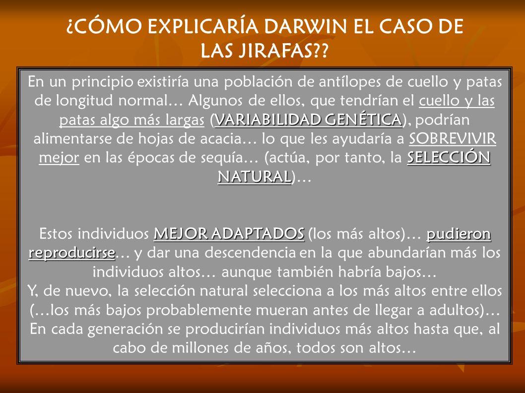 ¿CÓMO EXPLICARÍA DARWIN EL CASO DE LAS JIRAFAS?? VARIABILIDAD GENÉTICA SELECCIÓN NATURAL En un principio existiría una población de antílopes de cuell