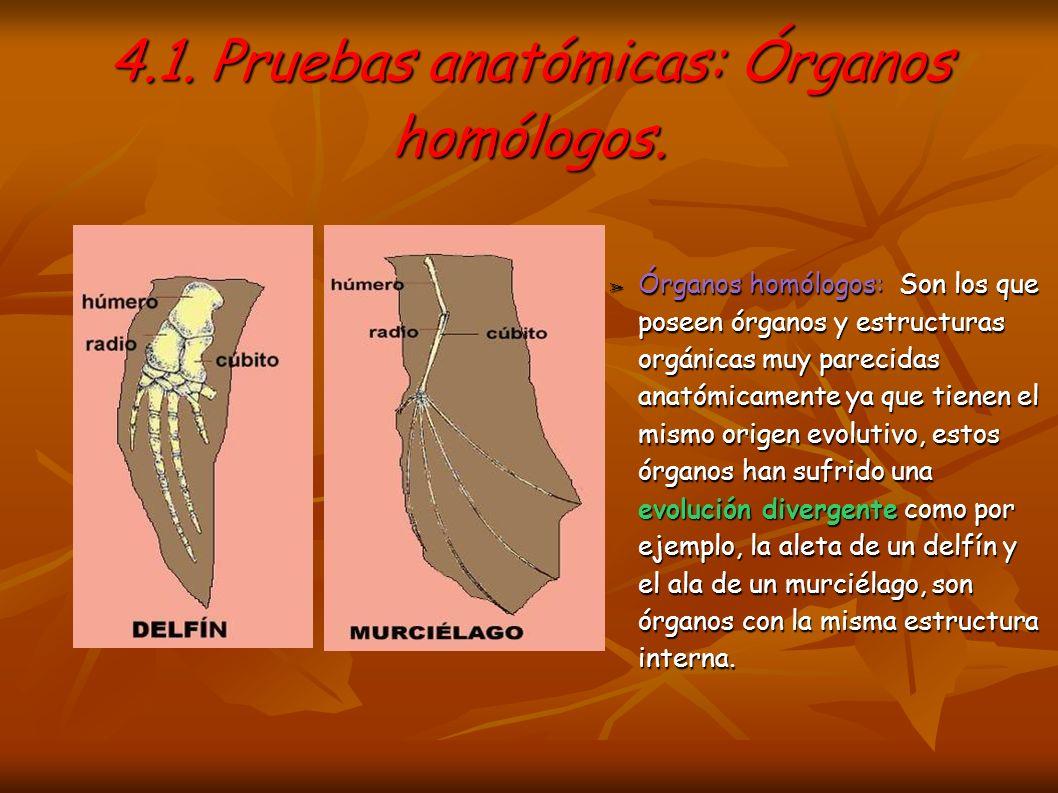 4.1. Pruebas anatómicas: Órganos homólogos. Órganos homólogos: Son los que poseen órganos y estructuras orgánicas muy parecidas anatómicamente ya que
