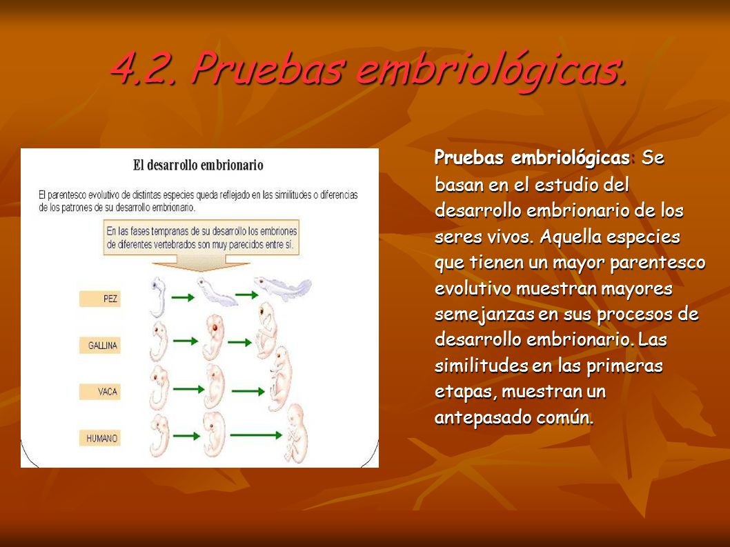 4.2. Pruebas embriológicas. Pruebas embriológicas: Se basan en el estudio del desarrollo embrionario de los seres vivos. Aquella especies que tienen u