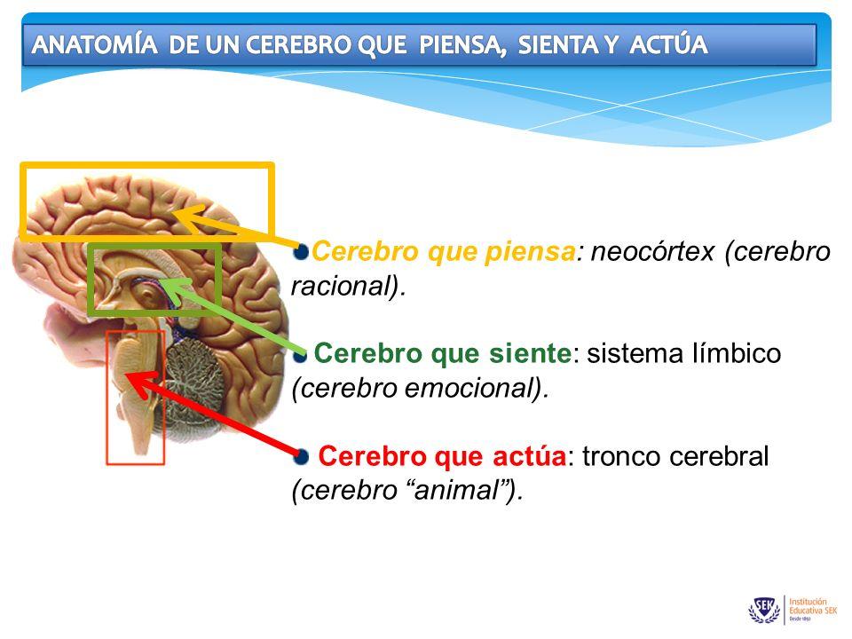 Cerebro que piensa: neocórtex (cerebro racional). Cerebro que siente: sistema límbico (cerebro emocional). Cerebro que actúa: tronco cerebral (cerebro