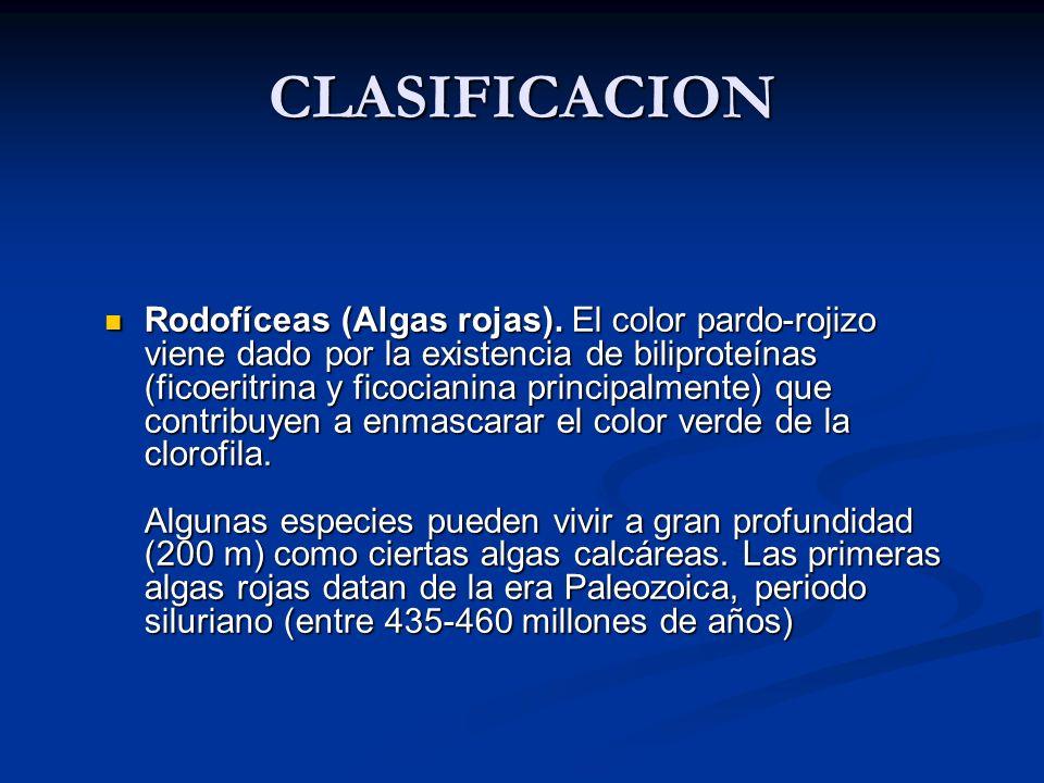 Rodofíceas (Algas rojas).