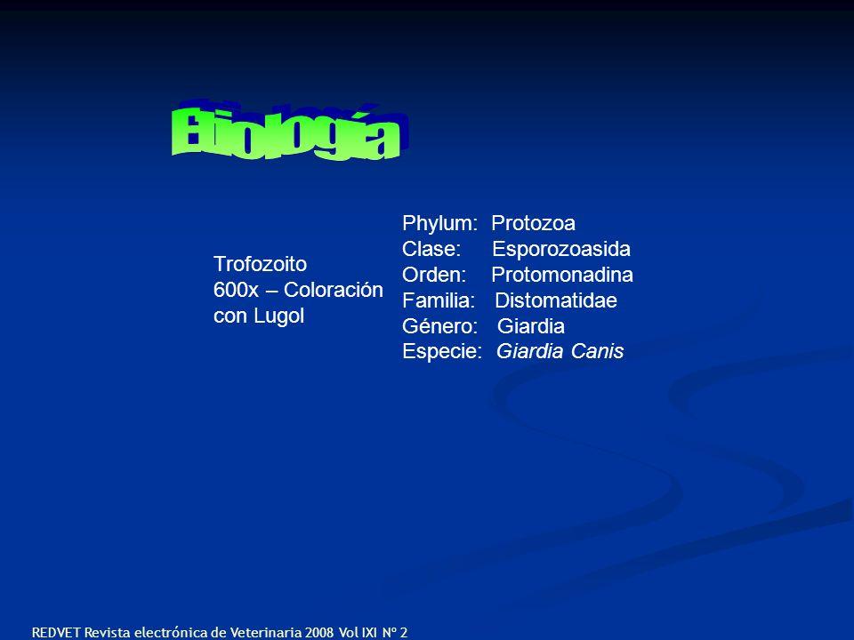 Trofozoito 600x – Coloración con Lugol Phylum: Protozoa Clase: Esporozoasida Orden: Protomonadina Familia: Distomatidae Género: Giardia Especie: Giard