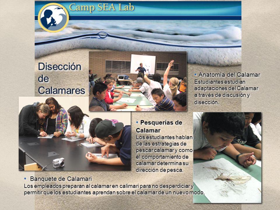 Disección de Calamares Anatomía del Calamar Anatomía del Calamar Estudiantes estudian adaptaciones del Calamar a través de discusión y disección.