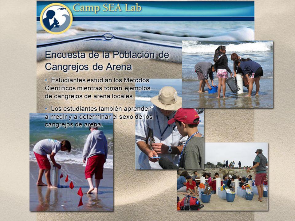 Estudiantes estudian los Métodos Científicos mientras toman ejemplos de cangrejos de arena locales Estudiantes estudian los Métodos Científicos mientras toman ejemplos de cangrejos de arena locales Los estudiantes también aprenden a medir y a determinar el sexo de los cangrejos de arena.