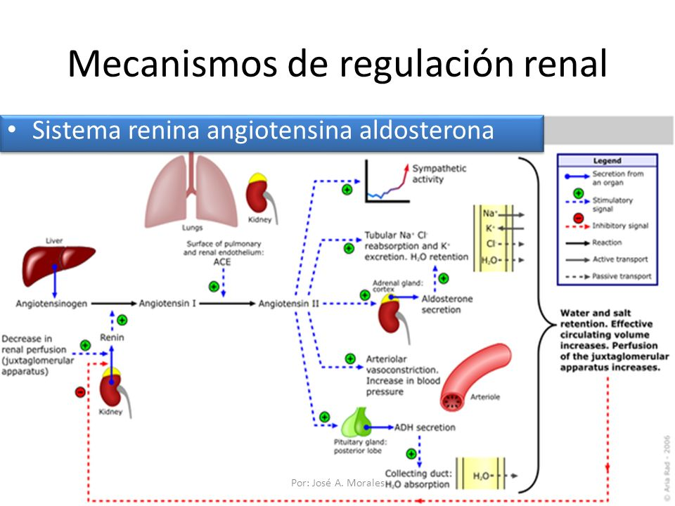 Mecanismos de regulación renal Sistema renina angiotensina aldosterona Por: José A. Morales