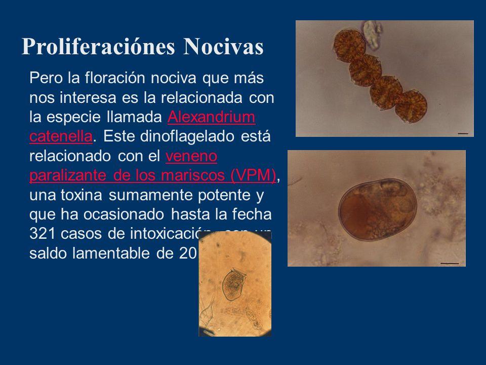 Proliferaciónes Nocivas Pero la floración nociva que más nos interesa es la relacionada con la especie llamada Alexandrium catenella. Este dinoflagela