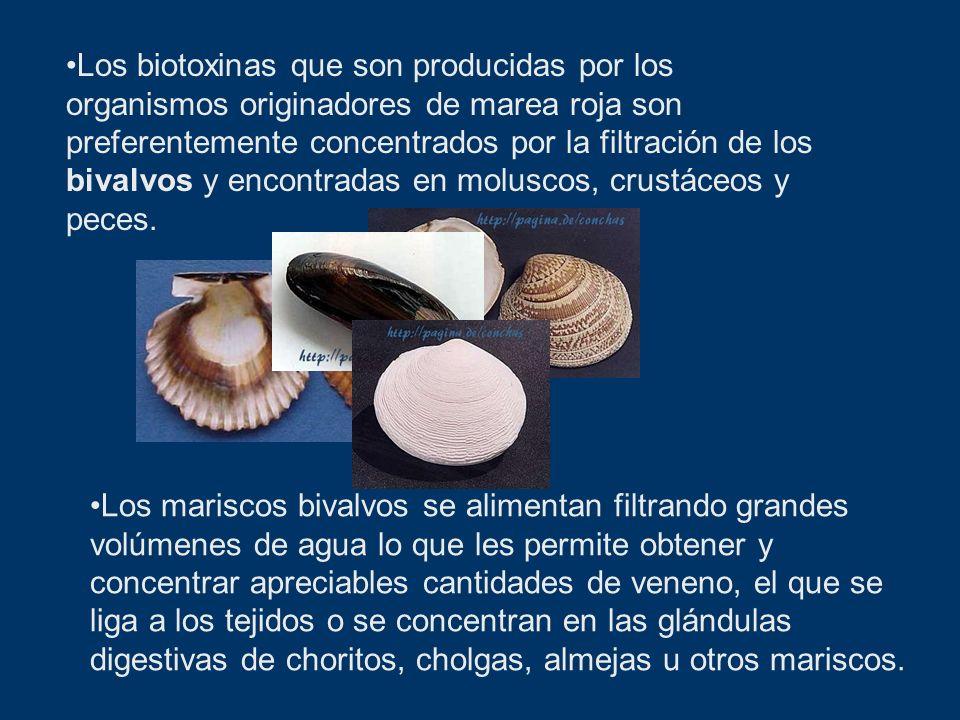Los biotoxinas que son producidas por los organismos originadores de marea roja son preferentemente concentrados por la filtración de los bivalvos y e