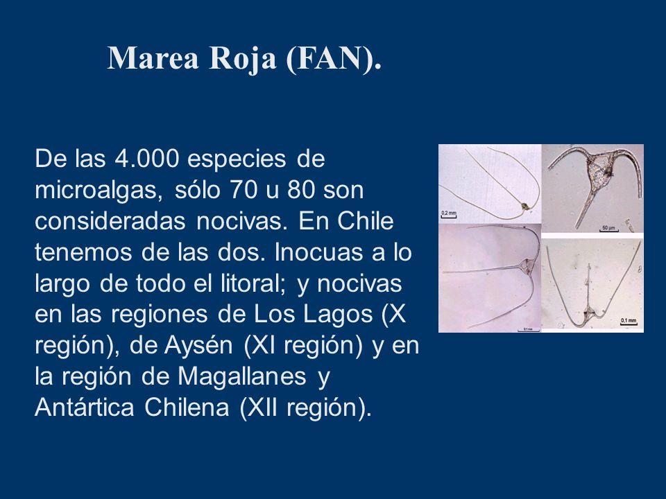 Marea Roja (FAN). De las 4.000 especies de microalgas, sólo 70 u 80 son consideradas nocivas. En Chile tenemos de las dos. Inocuas a lo largo de todo
