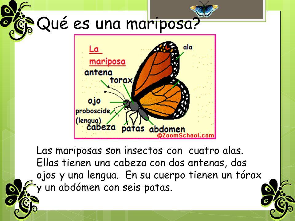 Qué es una mariposa? Las mariposas son insectos con cuatro alas. Ellas tienen una cabeza con dos antenas, dos ojos y una lengua. En su cuerpo tienen u