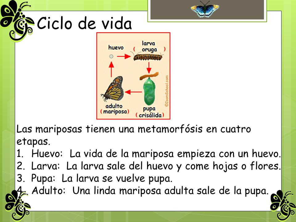Ciclo de vida Las mariposas tienen una metamorfósis en cuatro etapas. 1.Huevo: La vida de la mariposa empieza con un huevo. 2.Larva: La larva sale del