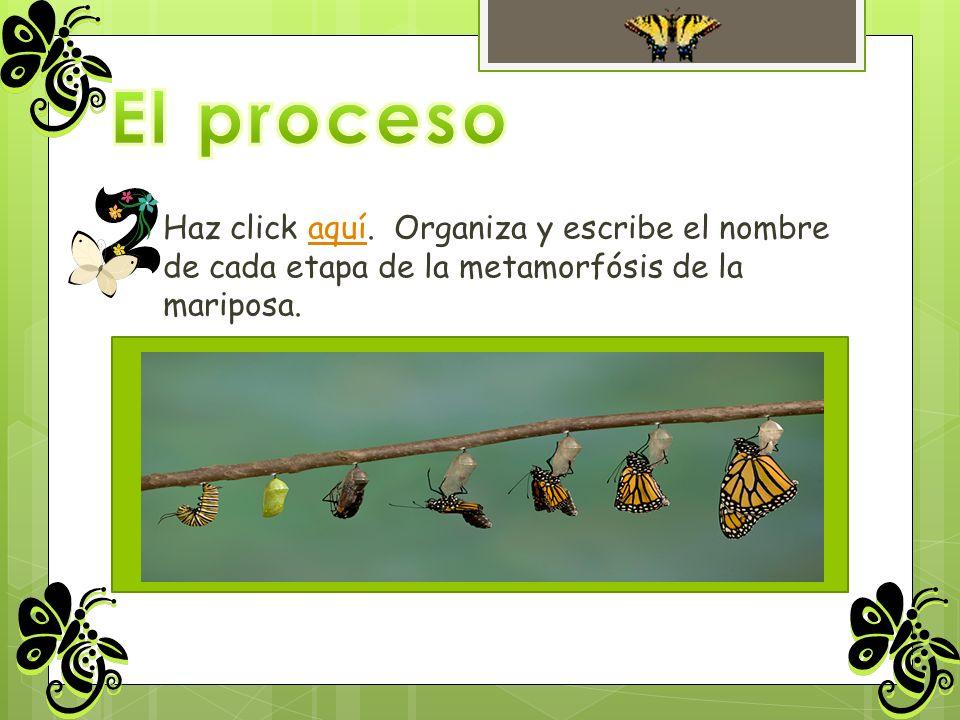Haz click aquí. Organiza y escribe el nombre de cada etapa de la metamorfósis de la mariposa.aquí