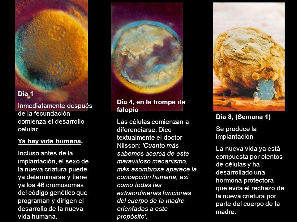 Día 1 Inmediatamente después de la fecundación comienza el desarrollo celular. Ya hay vida humana. Incluso antes de la implantación, el sexo de la nue