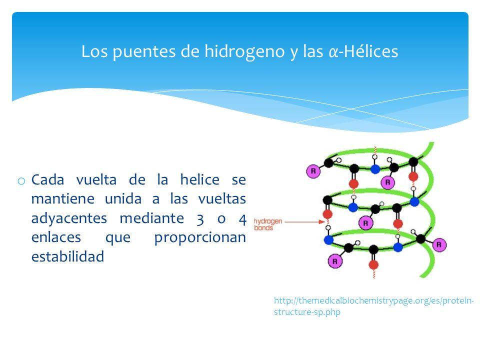 o Cada vuelta de la helice se mantiene unida a las vueltas adyacentes mediante 3 o 4 enlaces que proporcionan estabilidad Los puentes de hidrogeno y l