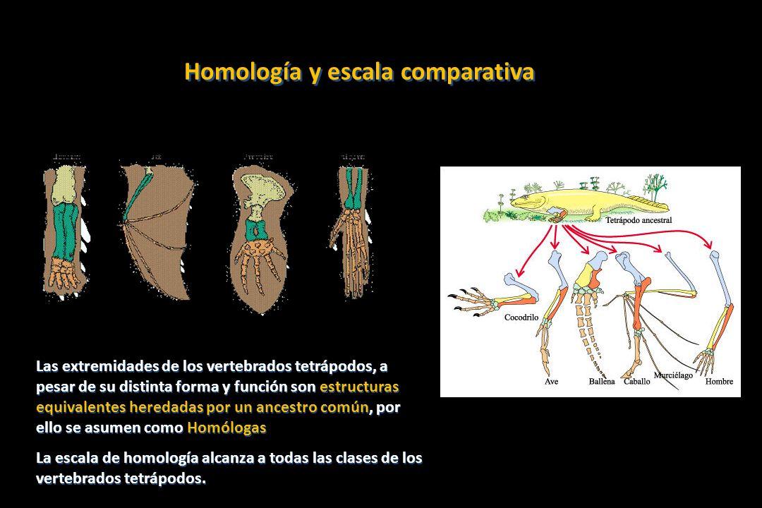 Aves Crocodylia Lepidosauria Chelonia Mammalia Lissamphibia Las extremidades como novedad evolutiva heredada a los tetrápodos actuales de un ancestro común Modificación de aletas en patas: una apomorfía Es compartida por todos los grupos derivados de tetrápodos: una sinapomorfía Las extremidades como novedad evolutiva heredada a los tetrápodos actuales de un ancestro común Modificación de aletas en patas: una apomorfía Es compartida por todos los grupos derivados de tetrápodos: una sinapomorfía