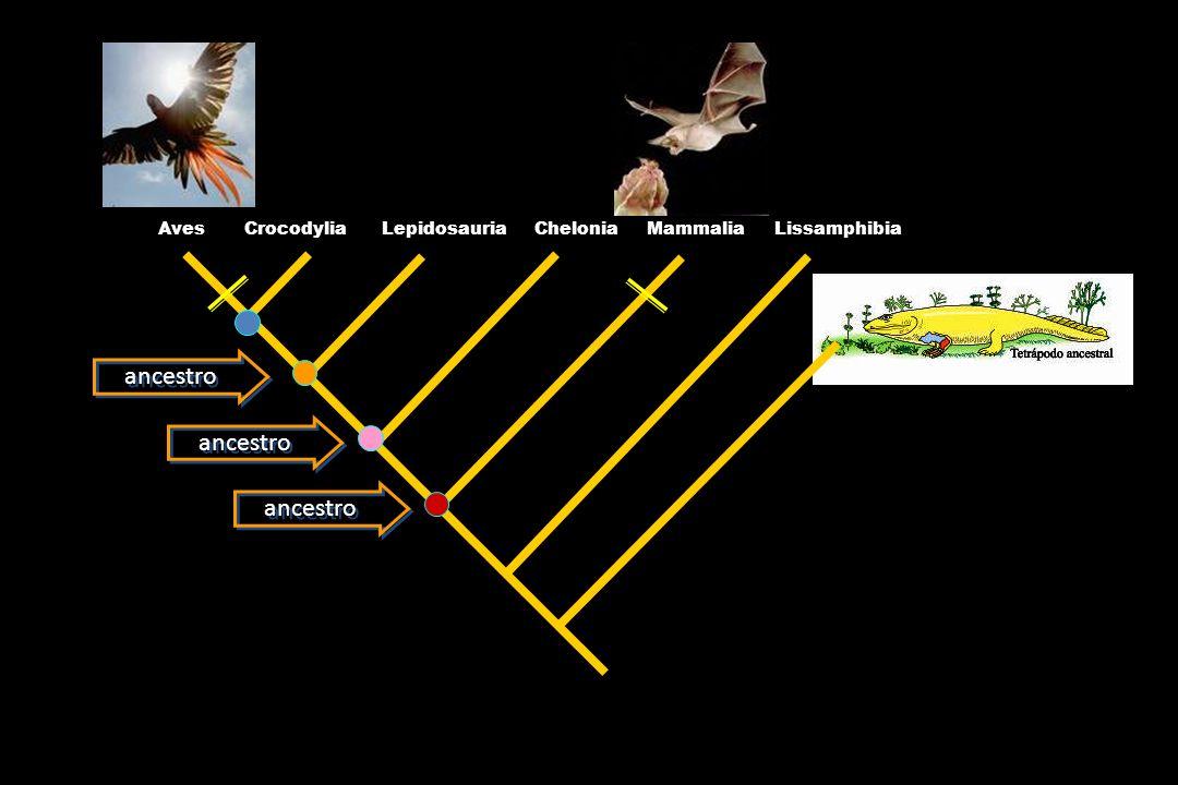 Las estructuras modificadas asociadas a las extensiones membranosas de los mamíferos son homólogas para todos los quiróptera La longitud de las plumas en las extremidades anteriores de los dinosaurios son homólogas en todas las aves Una apomorfía a escala de orden Una apomorfía a escala de clase