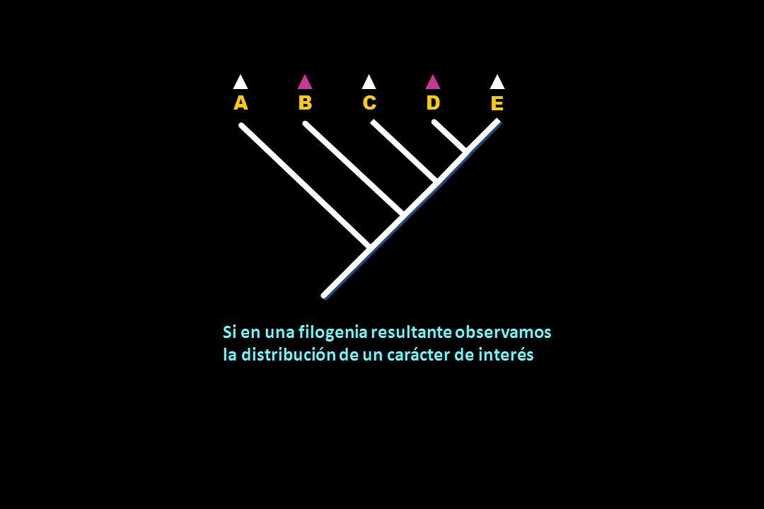 Y de acuerdo con el patrón de ramificación, observamos que dicho carácter se transformó primero en la dicotomía 2 y posteriormente en la dicotomía 4 a partir del mismo estado plesiomórfico A A B B C C D D E E La similaridad homoplásica es un paralelismo