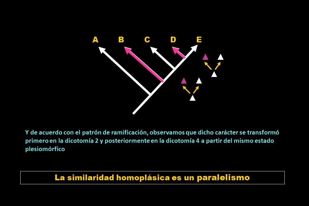 La otra situación de similaridad homoplásica A A B B C C D D E E Si en una filogenia observamos la distribución de un carácter de interés Y de acuerdo con el patrón de ramificación, observamos que dicho carácter se transformó primero en la dicotomía 2, y posteriormente en la dicotomía 4.