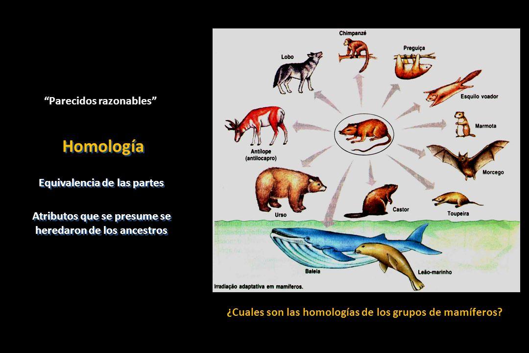Las homologías son propuestas antes del análisis filogenético Las homologías son evidenciadas después del análisis filogenético