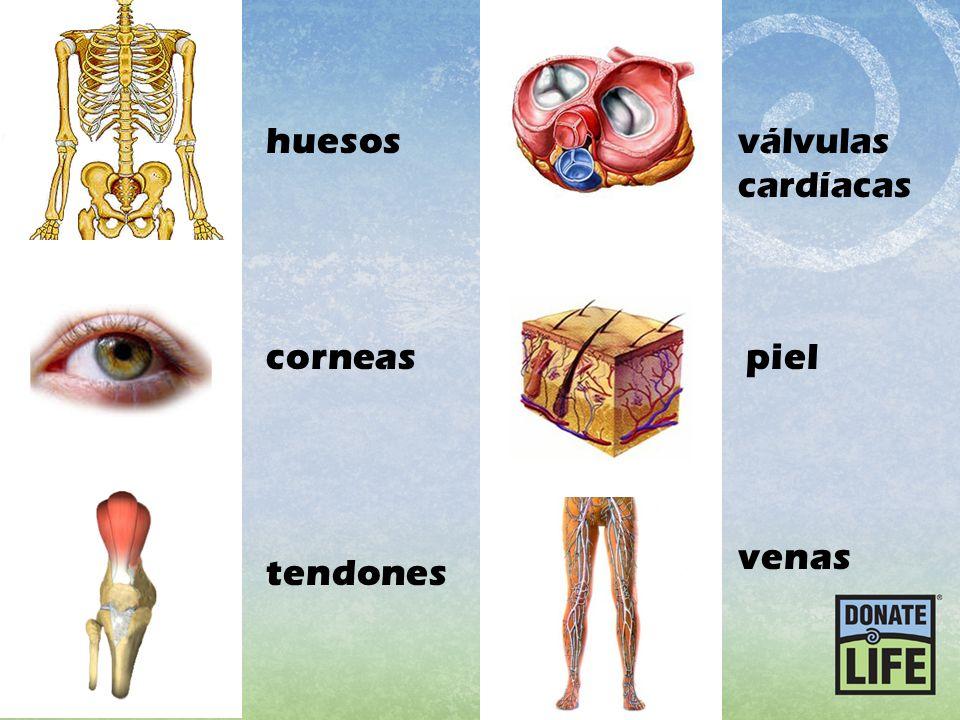 tendones corneas piel huesosválvulas cardíacas venas