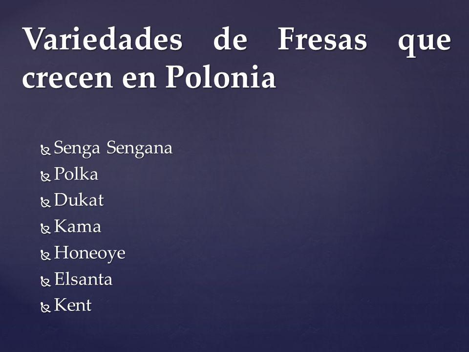 Senga Sengana Senga Sengana Polka Polka Dukat Dukat Kama Kama Honeoye Honeoye Elsanta Elsanta Kent Kent Variedades de Fresas que crecen en Polonia