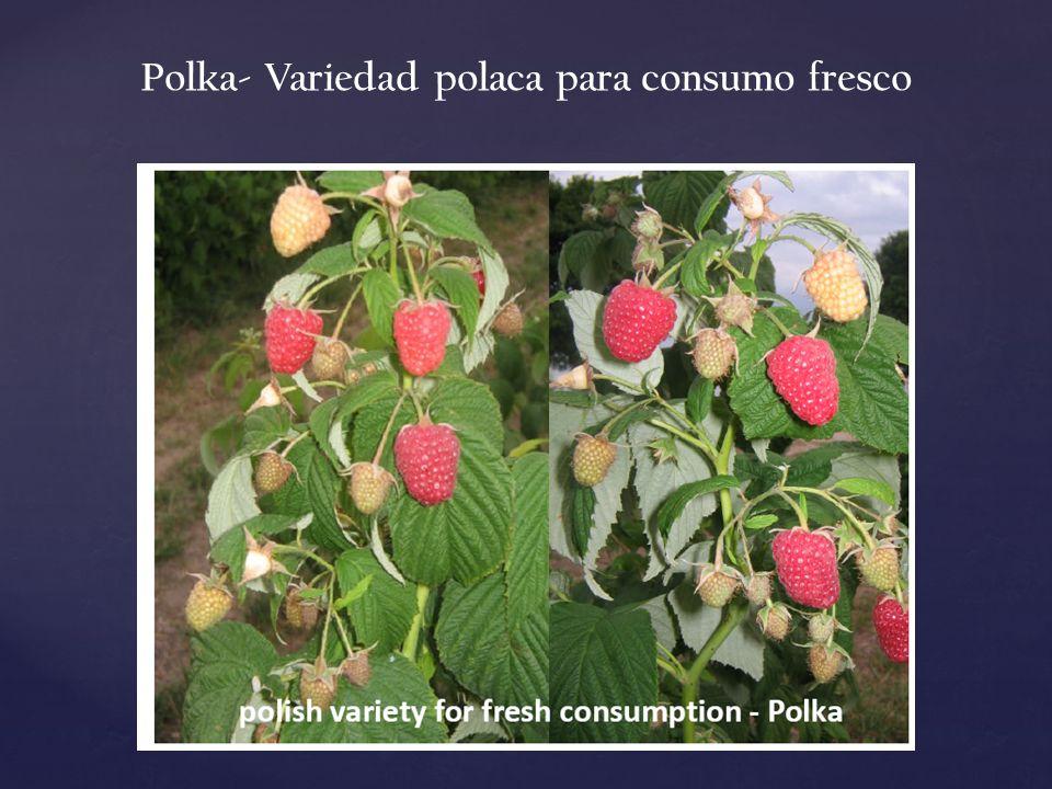 Polka- Variedad polaca para consumo fresco