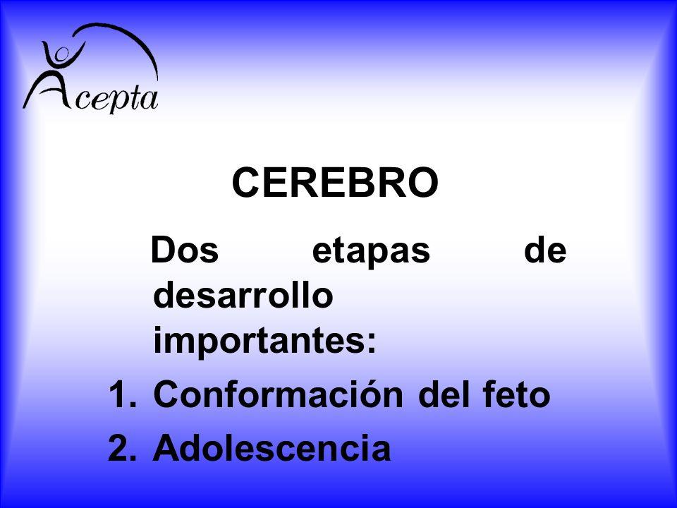 CEREBRO Dos etapas de desarrollo importantes: 1.Conformación del feto 2.Adolescencia