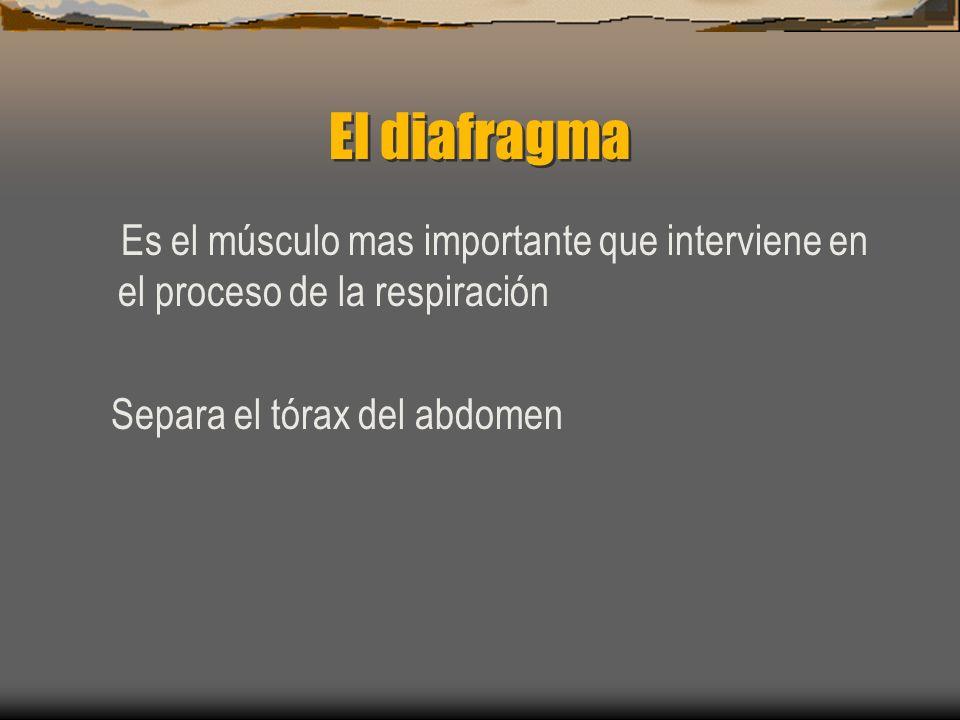 El diafragma Es el músculo mas importante que interviene en el proceso de la respiración Separa el tórax del abdomen