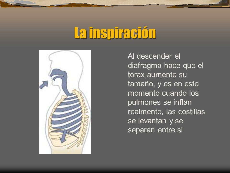 La inspiración Al descender el diafragma hace que el tórax aumente su tamaño, y es en este momento cuando los pulmones se inflan realmente, las costillas se levantan y se separan entre si