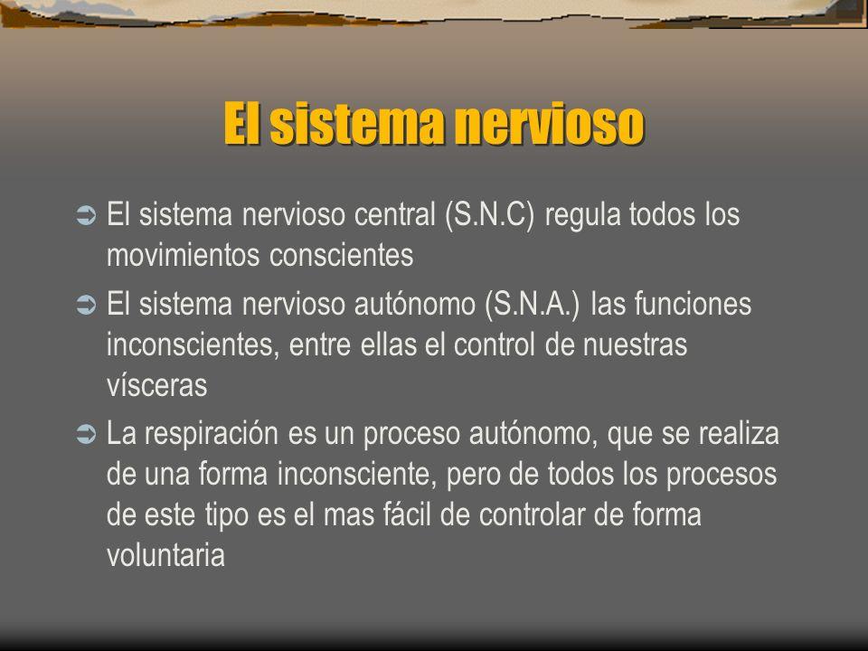 El sistema nervioso El sistema nervioso central (S.N.C) regula todos los movimientos conscientes El sistema nervioso autónomo (S.N.A.) las funciones inconscientes, entre ellas el control de nuestras vísceras La respiración es un proceso autónomo, que se realiza de una forma inconsciente, pero de todos los procesos de este tipo es el mas fácil de controlar de forma voluntaria