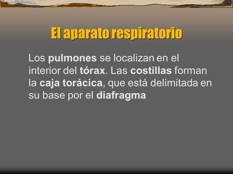El aparato respiratorio Los pulmones se localizan en el interior del tórax.
