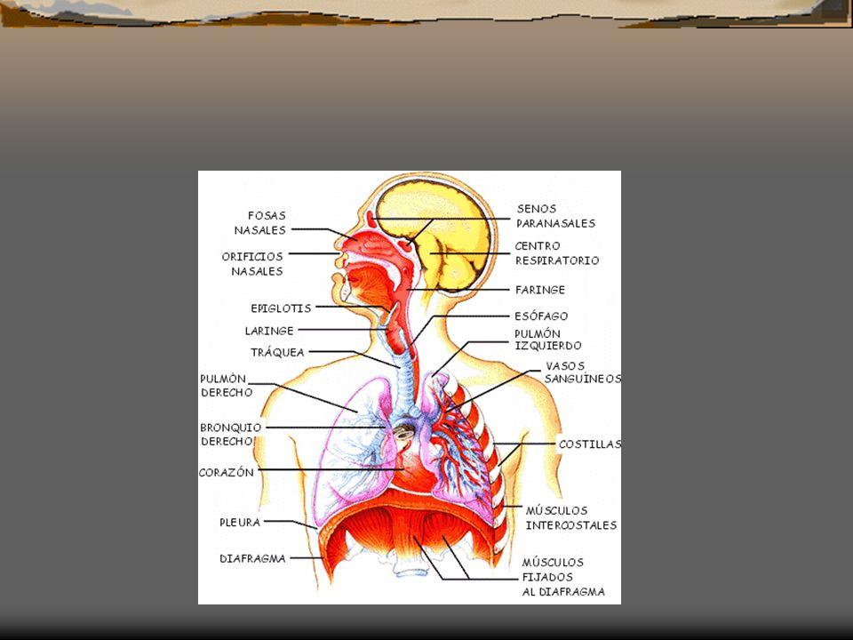 El aparato respiratorio Los pulmones se localizan en el interior del tórax. Las costillas forman la caja torácica, que está delimitada en su base por