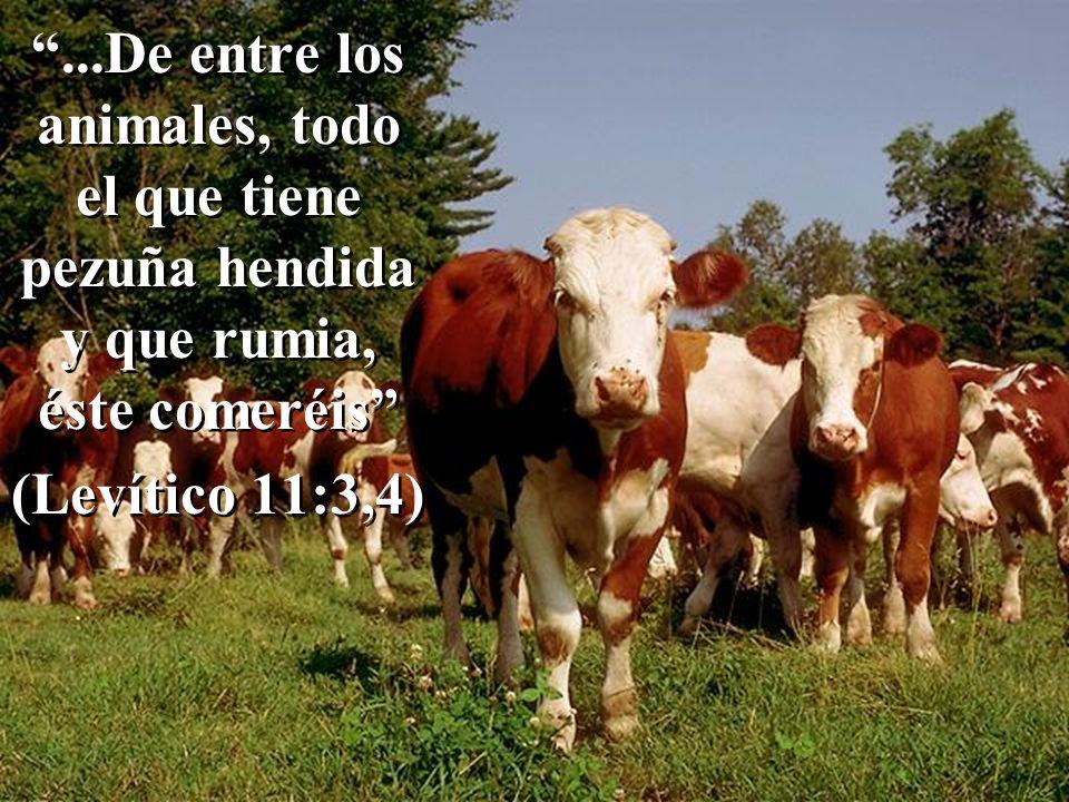...De entre los animales, todo el que tiene pezuña hendida y que rumia, éste comeréis (Levítico 11:3,4)...De entre los animales, todo el que tiene pezuña hendida y que rumia, éste comeréis (Levítico 11:3,4)