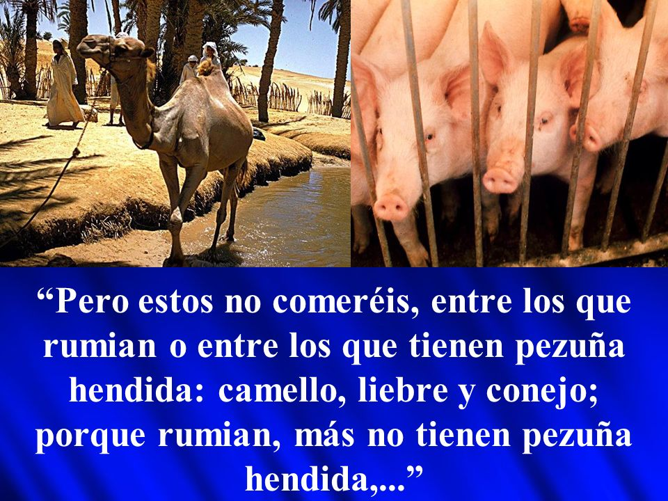 Pero estos no comeréis, entre los que rumian o entre los que tienen pezuña hendida: camello, liebre y conejo; porque rumian, más no tienen pezuña hendida,...