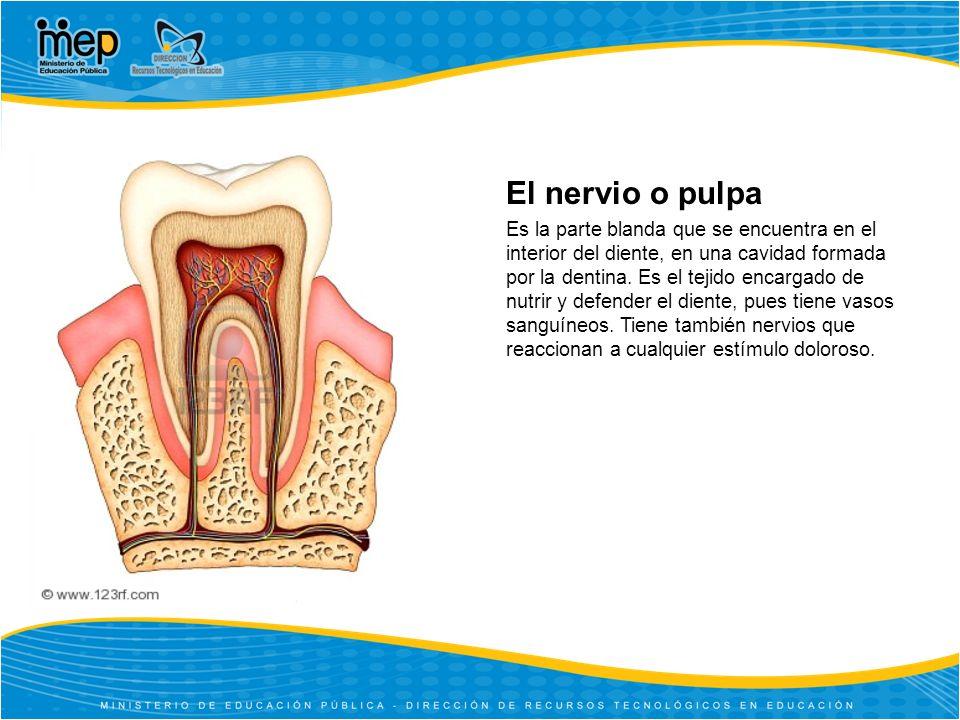 El nervio o pulpa Es la parte blanda que se encuentra en el interior del diente, en una cavidad formada por la dentina.
