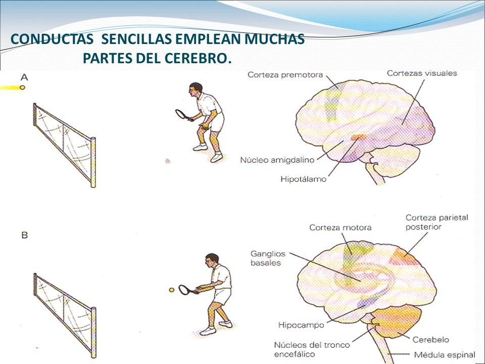 La neuropsicología nos permite el desarrollo e implementación de herramientas para aproximarnos al conocimiento de cómo procesan la información los diferentes sistemas funcionales del encéfalo.