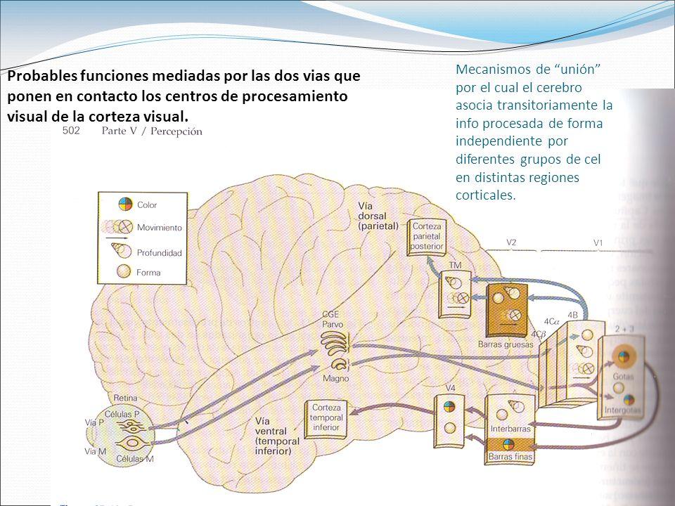 Probables funciones mediadas por las dos vias que ponen en contacto los centros de procesamiento visual de la corteza visual.