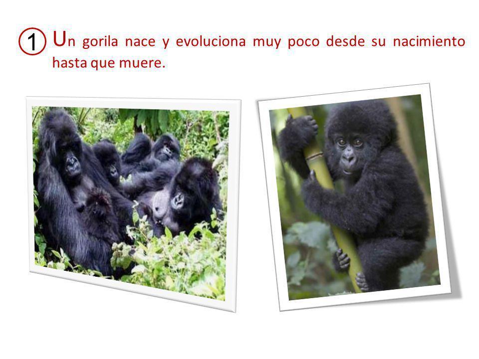 U n gorila nace y evoluciona muy poco desde su nacimiento hasta que muere. 1