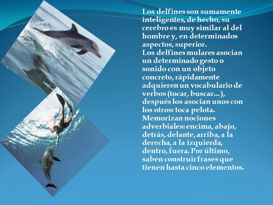 Los delfines son sumamente inteligentes, de hecho, su cerebro es muy similar al del hombre y, en determinados aspectos, superior. Los delfines mulares