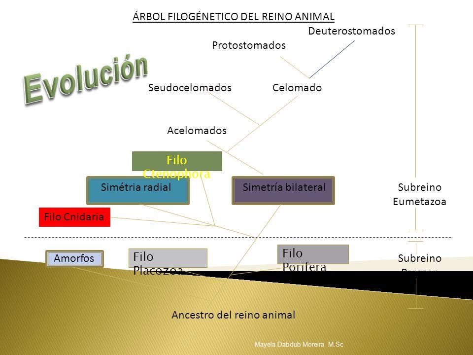 ÁRBOL FILOGÉNETICO DEL REINO ANIMAL Deuterostomados Protostomados Seudocelomados Celomado Acelomados Simétria radial Simetría bilateral Subreino Eumet