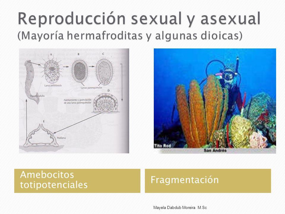 Amebocitos totipotenciales Fragmentación Mayela Dabdub Moreira M.Sc
