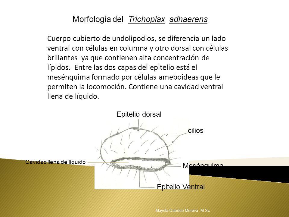 Morfología del Trichoplax adhaerens Cuerpo cubierto de undolipodios, se diferencia un lado ventral con células en columna y otro dorsal con células br