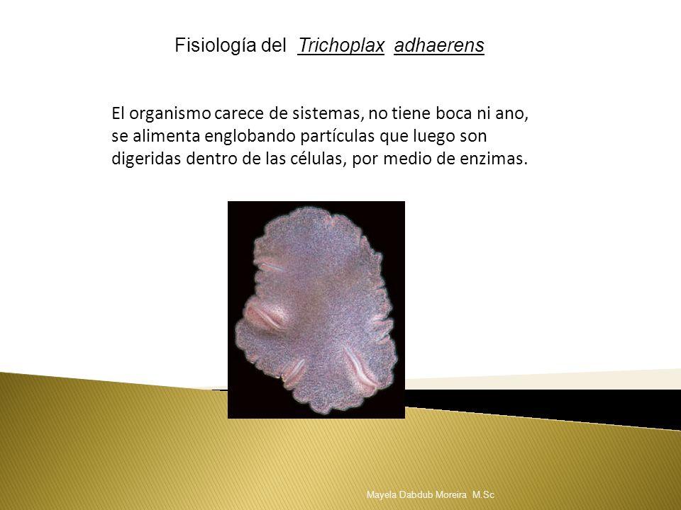 Fisiología del Trichoplax adhaerens El organismo carece de sistemas, no tiene boca ni ano, se alimenta englobando partículas que luego son digeridas d