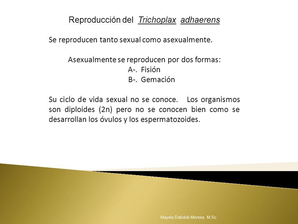 Reproducción del Trichoplax adhaerens Se reproducen tanto sexual como asexualmente. Asexualmente se reproducen por dos formas: A-. Fisión B-. Gemación
