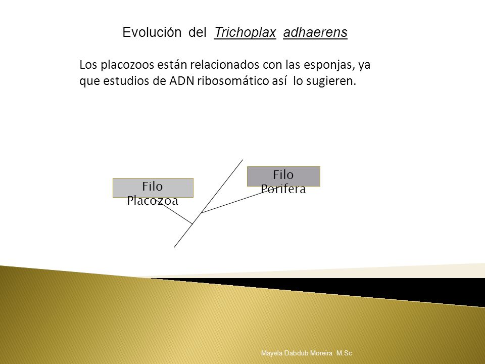 Evolución del Trichoplax adhaerens Los placozoos están relacionados con las esponjas, ya que estudios de ADN ribosomático así lo sugieren. Filo Placoz