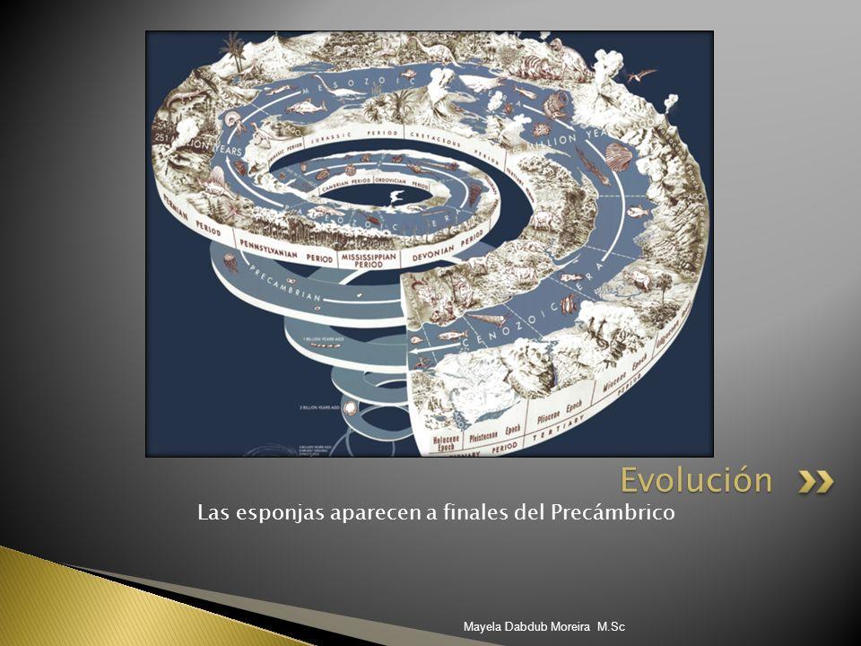 Las esponjas aparecen a finales del Precámbrico Evolución Mayela Dabdub Moreira M.Sc