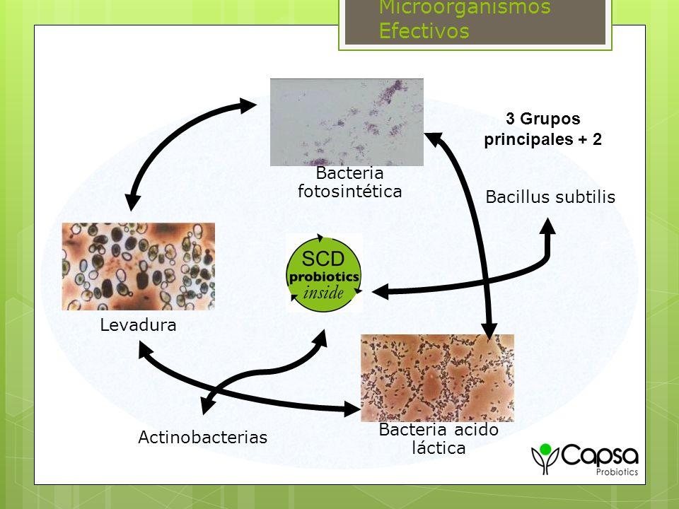 Bacteria acido láctica Bacteria fotosintética Levadura Bacillus subtilis Actinobacterias 3 Grupos principales + 2 Microorganismos Efectivos