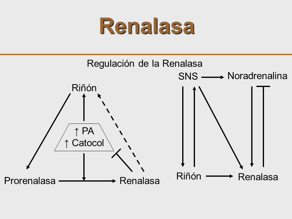 Renalasa Regulación de la Renalasa Riñón ProrenalasaRenalasa PA Catocol SNS Riñón Noradrenalina Renalasa