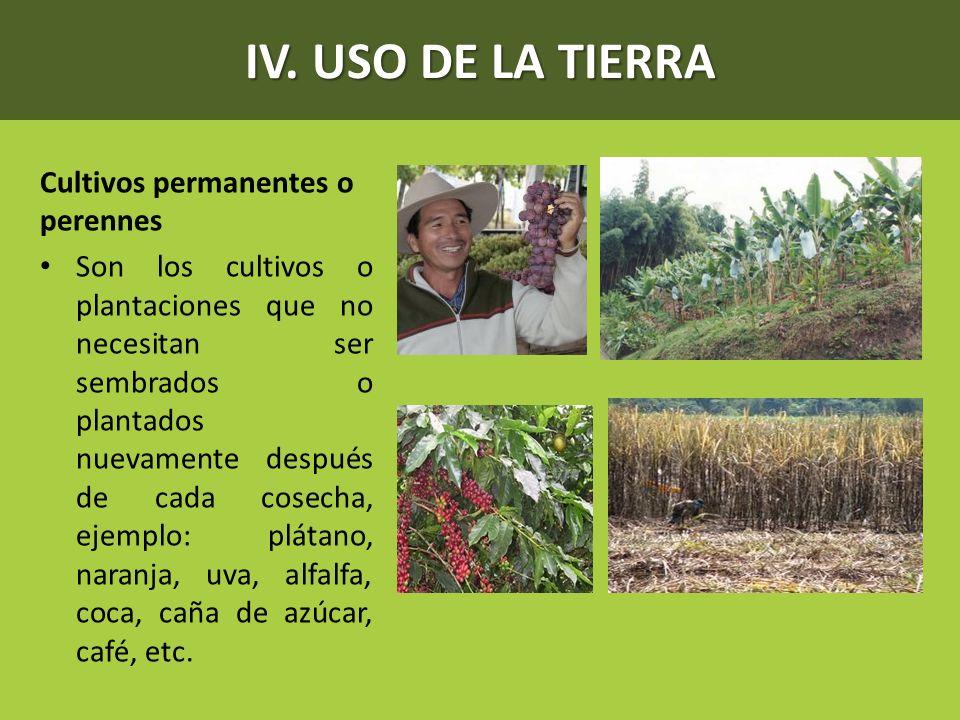 IV. USO DE LA TIERRA Cultivos permanentes o perennes Son los cultivos o plantaciones que no necesitan ser sembrados o plantados nuevamente después de