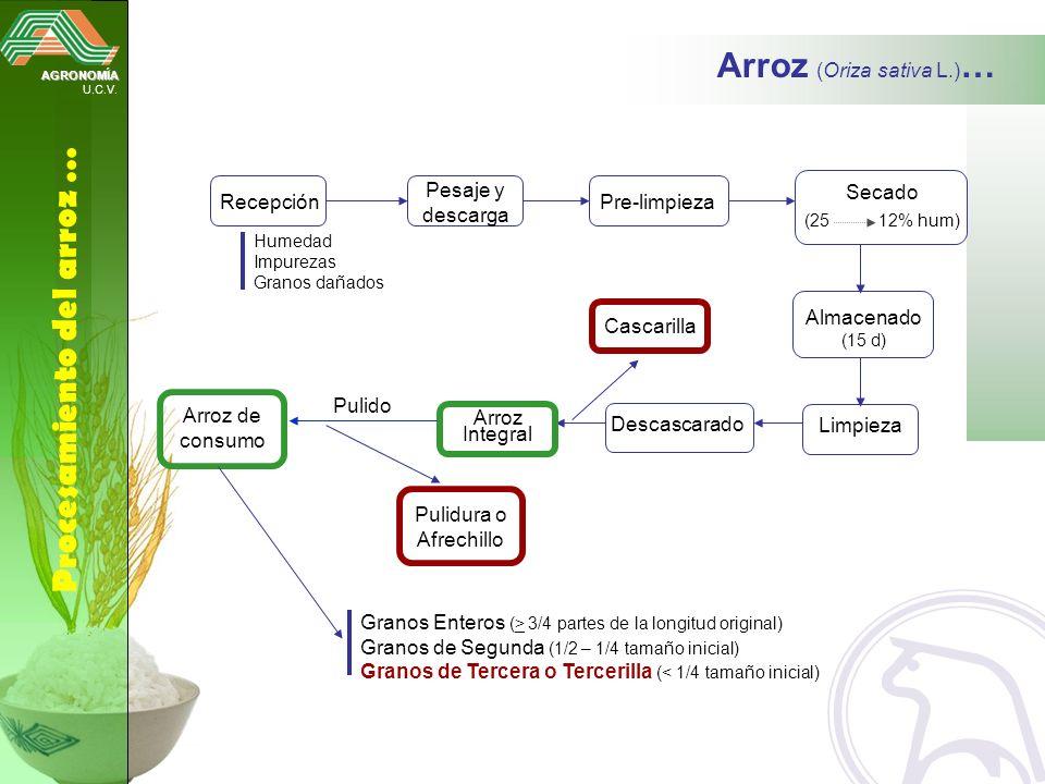 AGRONOMÍA U.C.V. Procesamiento del arroz … Arroz (Oriza sativa L.) … Recepción Humedad Impurezas Granos dañados Arroz de consumo Pesaje y descarga Pre