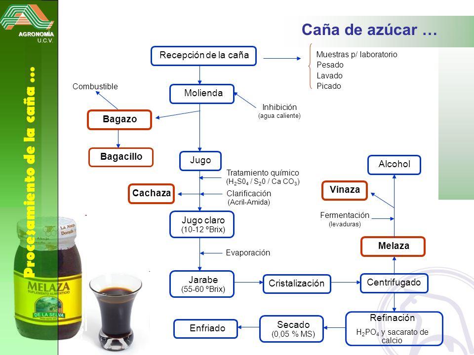AGRONOMÍA U.C.V. Procesamiento de la caña … Caña de azúcar … Recepción de la caña Muestras p/ laboratorio Pesado Lavado Picado Molienda Inhibición (ag